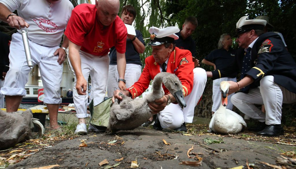 The Queen's Swan Marker, David Barber, (centre) is joined by Swan Uppers to inspect a cygnet and swan brought ashore near Staines, during the ancient tradition of the annual census of the swan population on the River Thames. (Photo by Jonathan Brady/PA Images via Getty Images)
