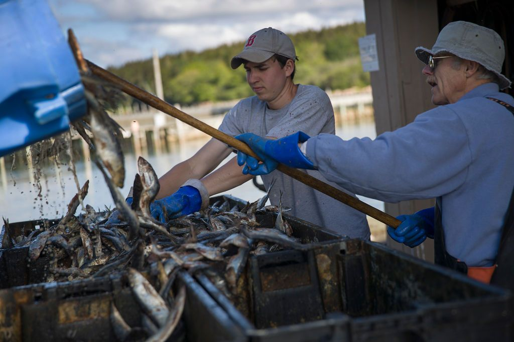 DEER ISLE, MAINE - JULY 01: Nelson Heanssler (R) and Collin Soucy prepare herring to be sold to lobstermen as bait at Conary Cove Lobster Co Inc. on the shores of the Gulf of Maine on July 01, 2019 in Deer Isle, Maine. Reports indicate that since 1982 the temperatures in the Gulf have warmed about 2.3 degrees Fahrenheit and the warmer water has helped increase lobster populations. There is concern among scientists that if the higher in-shore water temperatures continue to slowly rise it may push lobsters farther offshore to deeper, cooler waters, or northward into the cooler Canadian waters which would disrupt the Maine lobster business over time. (Photo by Joe Raedle/Getty Images)