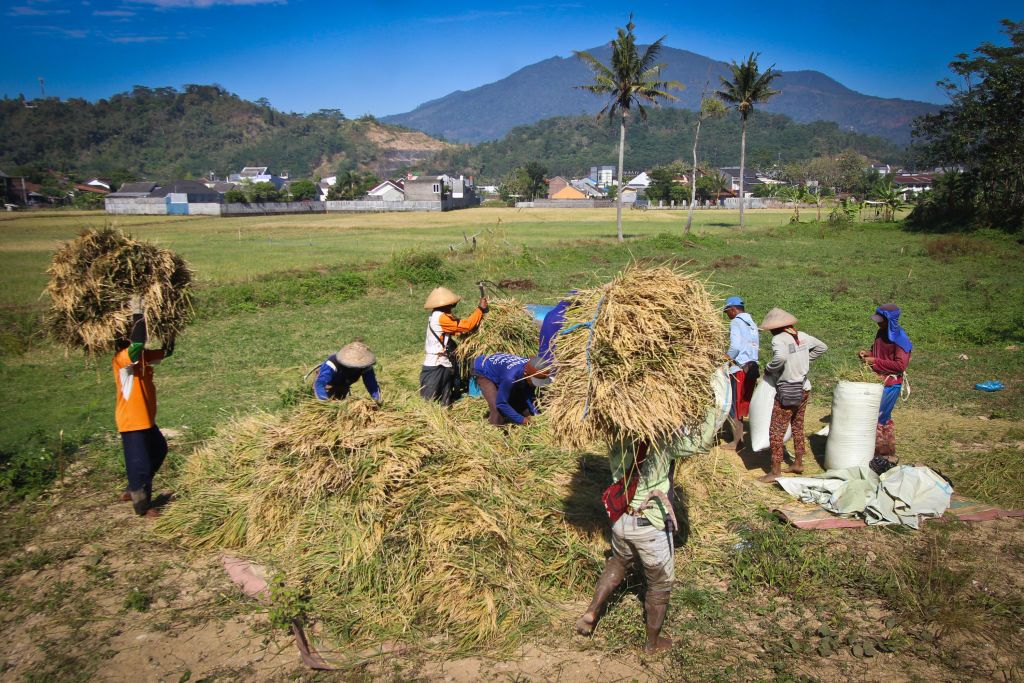 Laborers work in a paddy field on the outskirts of Ungaran, Central Java, Indonesia during a rice harvesting season on July 24, 2019. Agriculture is the main source of food, income, and employment in rural areas. Photo by WF Sihardian (Photo by WF Sihardian/NurPhoto via Getty Images)