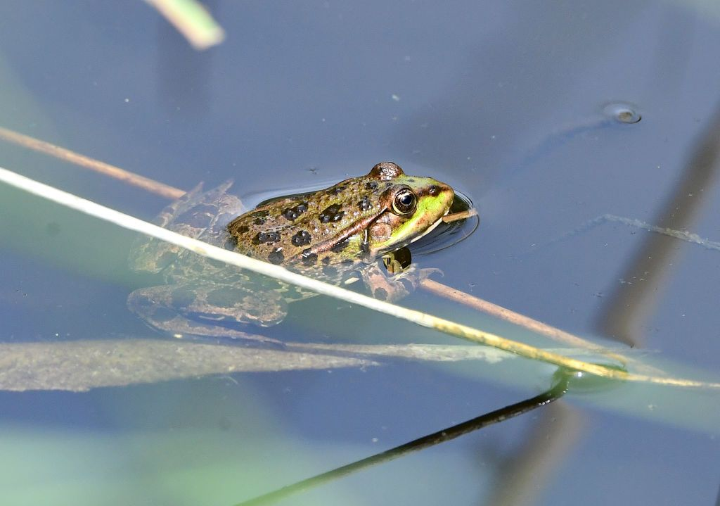 General view of a Frog in Rainham Marshes Nature Reserve , in Essex. (Photo by Ian West/PA Images via Getty Images)