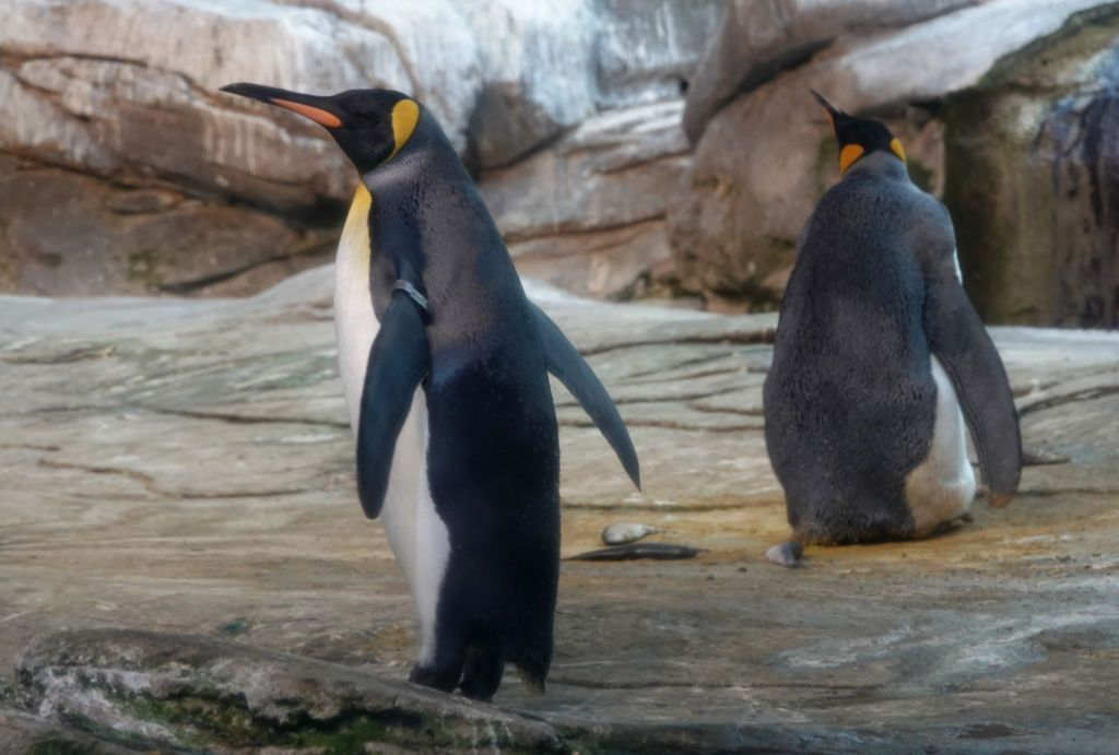 09 August 2019, Berlin: The gay king penguins Skipper and Ping in their zoo enclosure. The two penguin men behaved like exemplary parents and warmed the egg alternately in their belly fold. Photo: Taylan Gökalp/dpa (Photo by Taylan Gökalp/picture alliance via Getty Images)