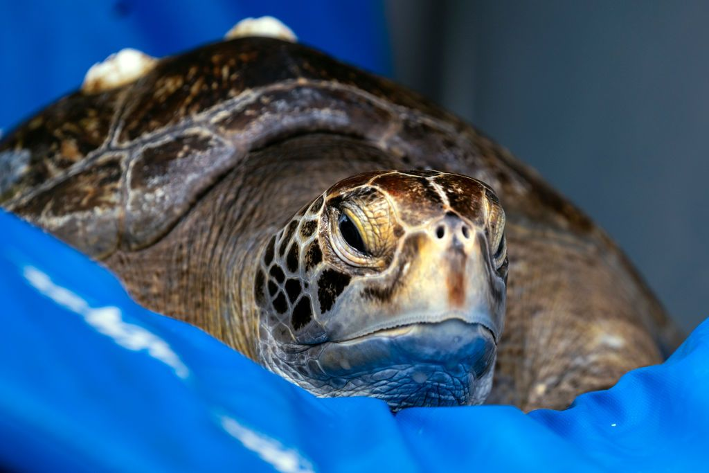 A rehabilitated green sea turtle is seen in a crate minutes before being returned to the ocean by members of the Aquarium of the Pacifics veterinary staff in Seal Beach, California, on August 15, 2019. The 50 pound sea turtle was fitted with a microchip ID. (Photo by Ronen Tivony/NurPhoto via Getty Images)