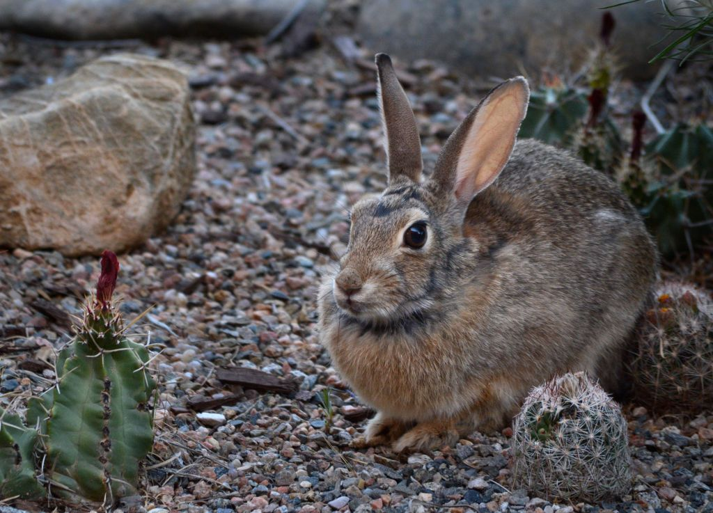 SANTA FE, NM - JUNE 7, 2018:  A Desert Cottontail rabbit, also known as Audubon's cottontail, pauses in a cactus garden in Santa Fe, New Mexico. (Photo by Robert Alexander/Getty Images)